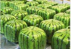 Хит у свету: Коцкасте лубенице