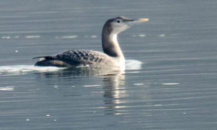 Откривена нова врста птице за фауну Србије