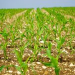 April: Mesec setve kukuruza i drugih radova u polju