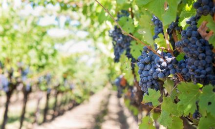 Raspisan Javni poziv za podnošenje zahteva za podizanje višegodišnjih proizvodnih zasada vinove loze