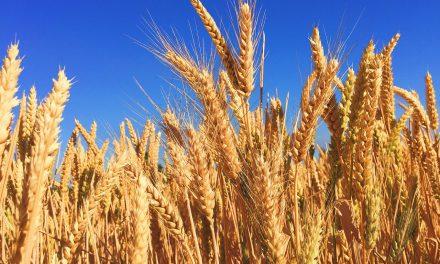 Počela žetva pšenice