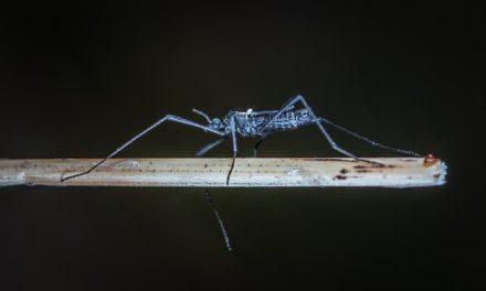 Vrste komaraca koje su prisutne u Srbiji i bolesti koje mogu da prenesu
