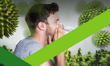 Ambrozija: Biljka na koju je alergično oko 10 odsto stanovništva