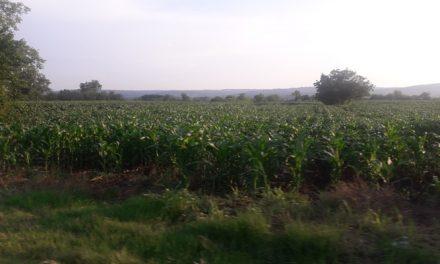 Raste cena soje, suncokreta i kukuruza