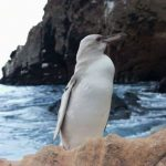 Na ostrvu Galapagos snimljen potpuno beli pingvin