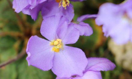 Natalijina ramonda, čudnovati cvet koji se nosi povodom Dana primirja