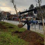 Zasađene prve sadnice drveta Ginkgo biloba u Kostolcu
