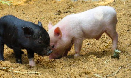 Dogovorene mere pomoći za uzgajivače svinja