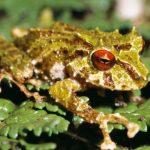 """""""Led cepelin"""" – ime nove vrste žabe pronađene u Andima"""