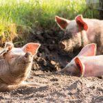 Afrička kuga svinja: Ugrožena naselja na teritoriji Golupca